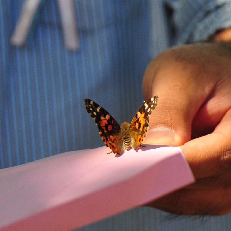 Two Dozen Painted Lady Butterflies (Individual release or mass release available)